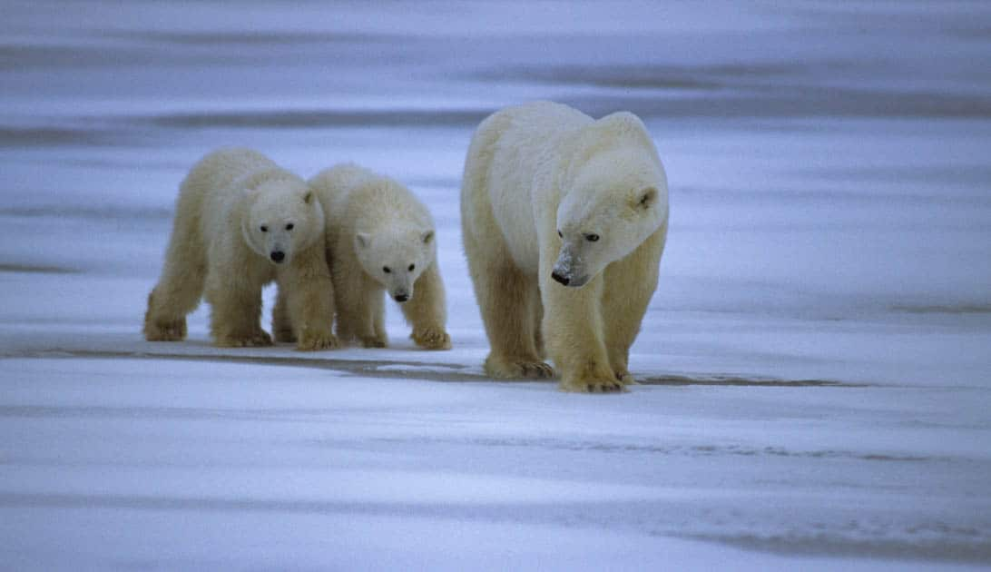A mama bear and two cubs walking along the snowy tundra.