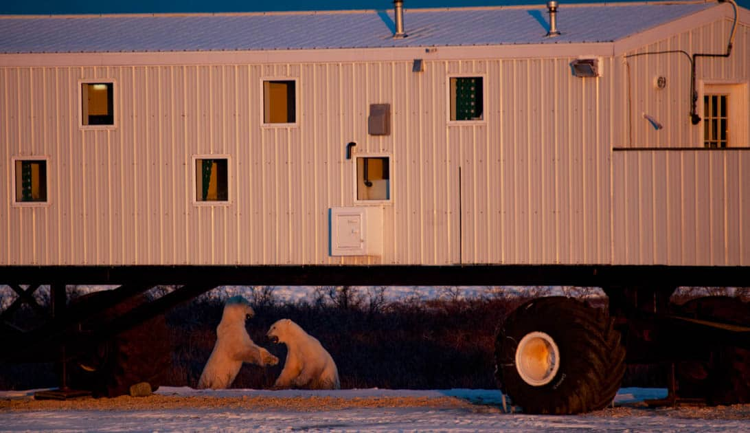 Two polar bears play fighting under the Tundra Lodge at dusk.