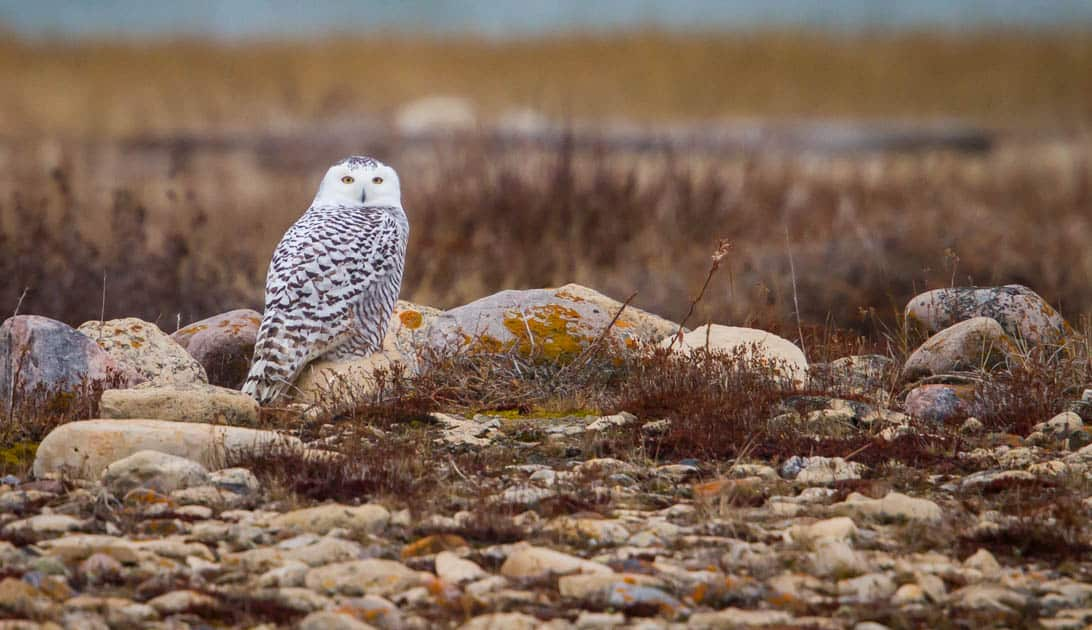 A snowy owl siting on a rock in the brown landscape.