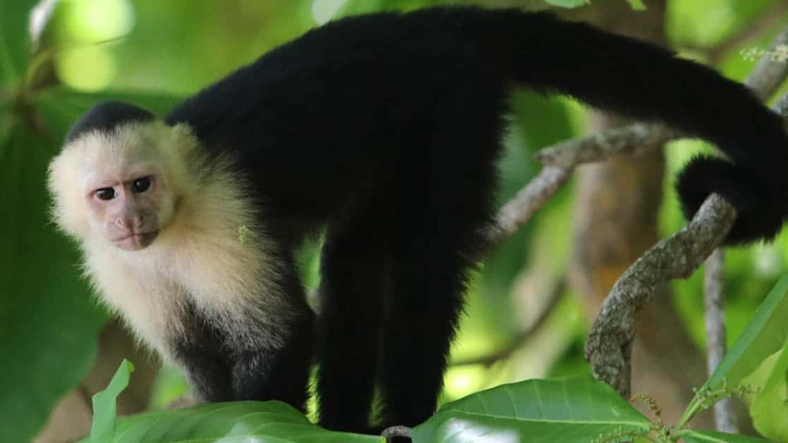 capuchin monkey climbing through the costa rica jungle with bright leaves around it