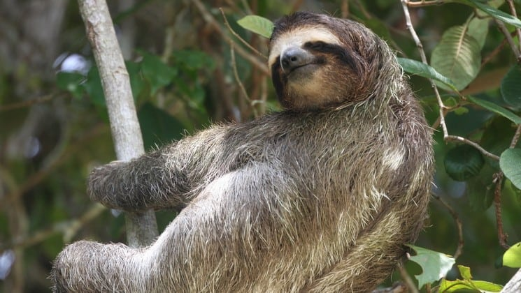 sloth relaxing in the costa rica jungle on a sunny day with green foliage in the background