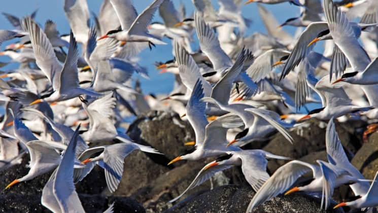 flock of white seabirds with black heads and orange bills flying on a sunny day in the sea of cortez baja california