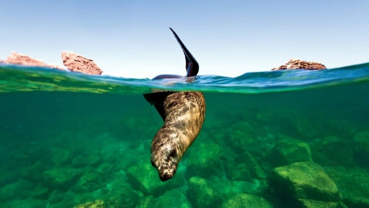 sea lion starts to dive underwater in the sea of cortez on a sunny day in baja california with land in the distance