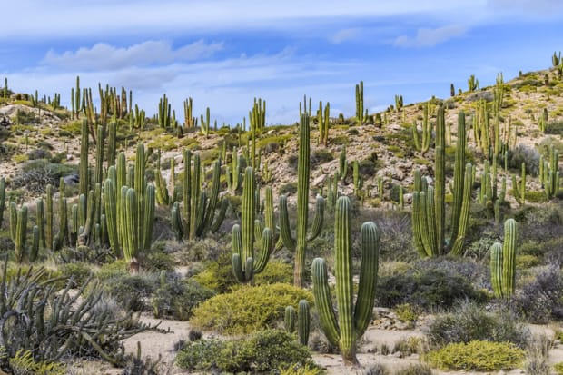 Scenic view of many large cactus on the desert floor in Baja.