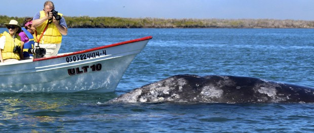 A group of Baja travelers in a small panga boat observing a gray whale.