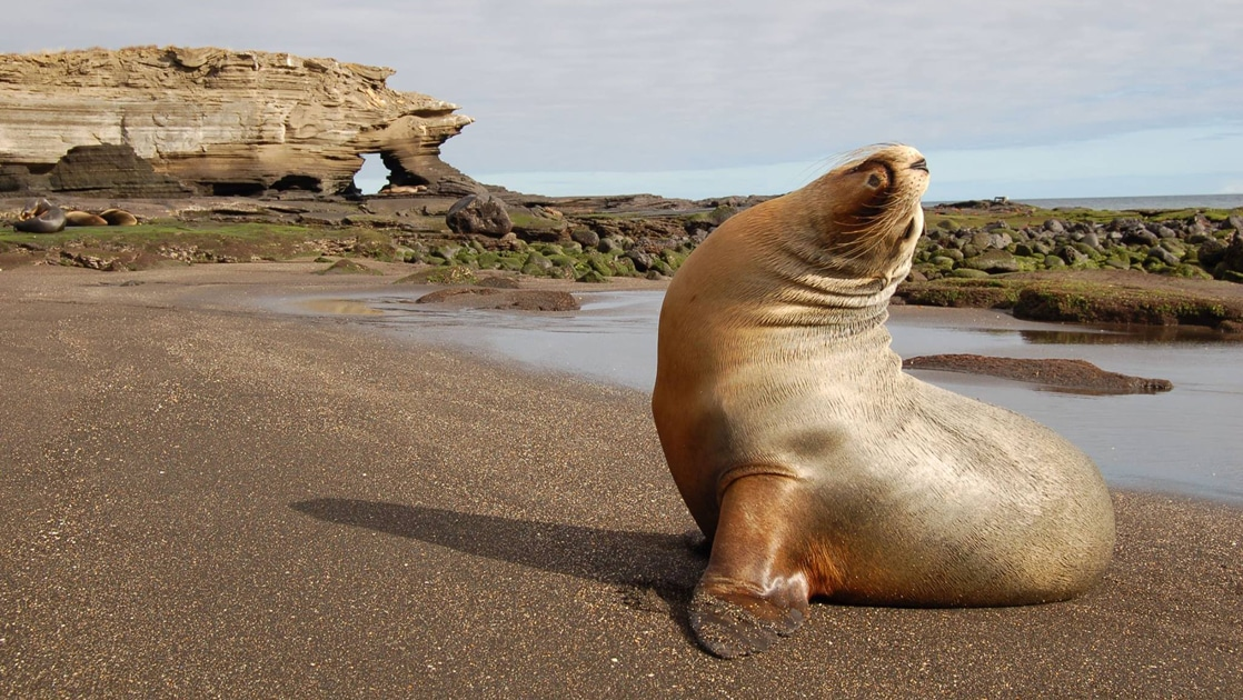 During golden hour a sea lion poses for a wildlife portrait on a sandy beach in the Galapagos.