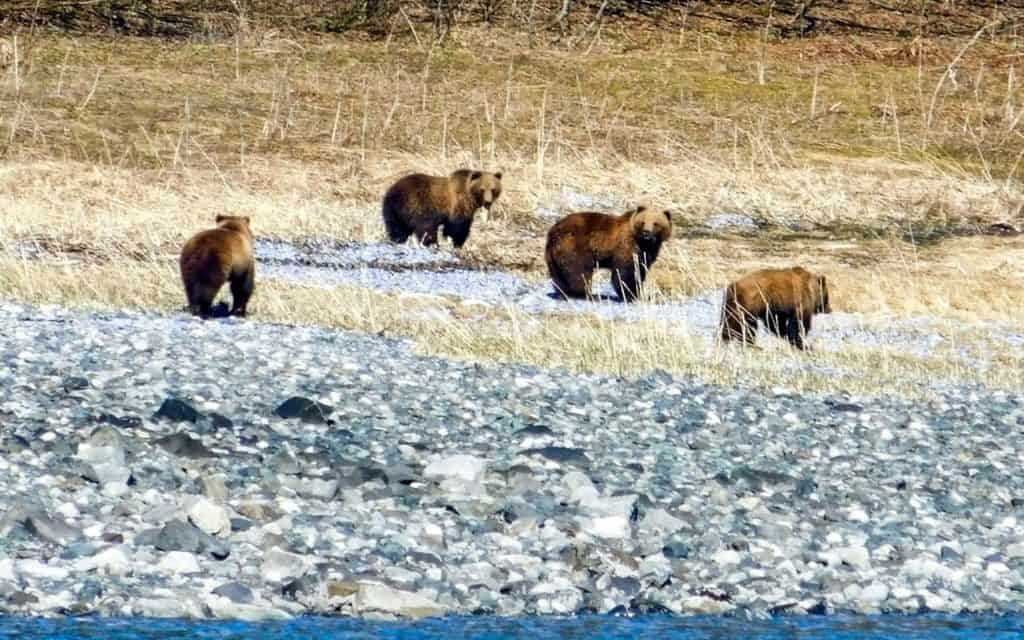 Four coastal brown bears on a rocky beach in Alaska. Two looking at the camera and two walking.