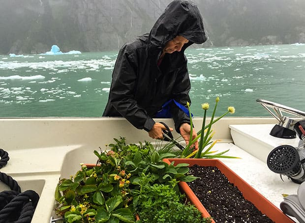 Alaskan crew member on a small ship cruise aboard the Westward pruning herbs and vegetables from the on deck garden.