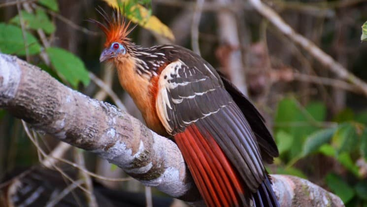 Close up of a colorful bird in a tree in the Ecuadorian Amazon