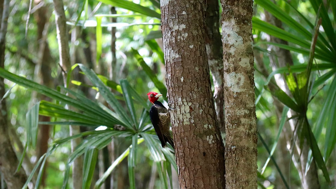 lineated woodpecker on a tree with a jungle background at cockscomb basin wildlife sanctuary