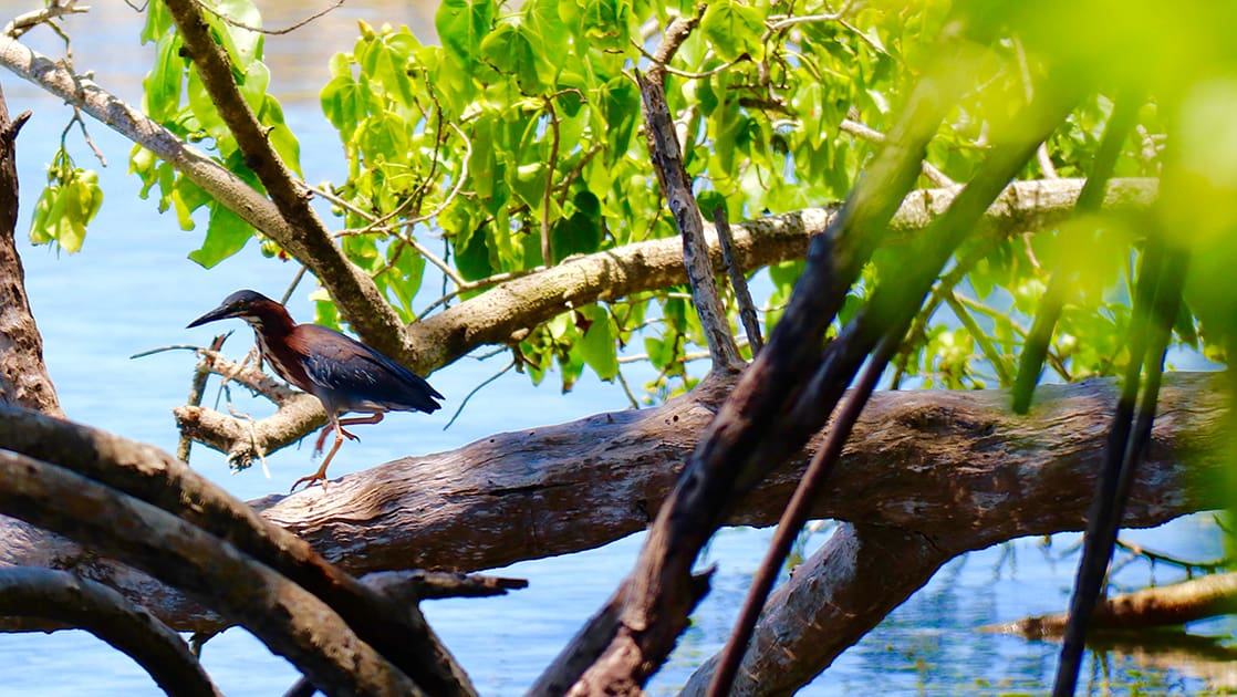 bird sitting in a mangrove with bright green leaves above and crystal clear blue water below on a sunny day