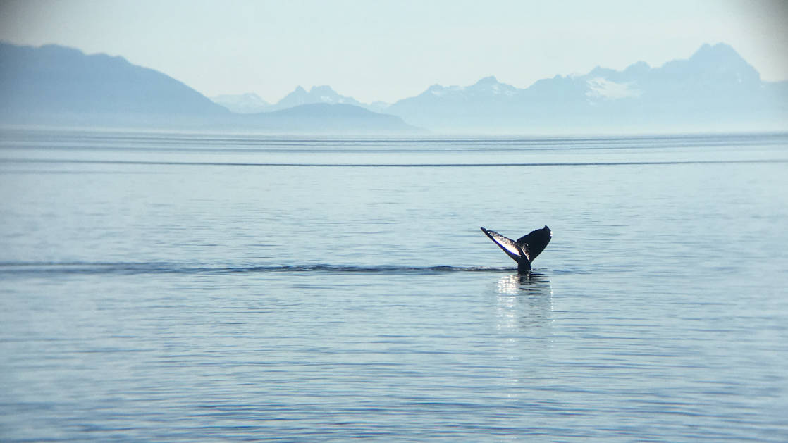 Whale tail coming out of the ocean with a mountain range in the background on a hazy day in Alaska.