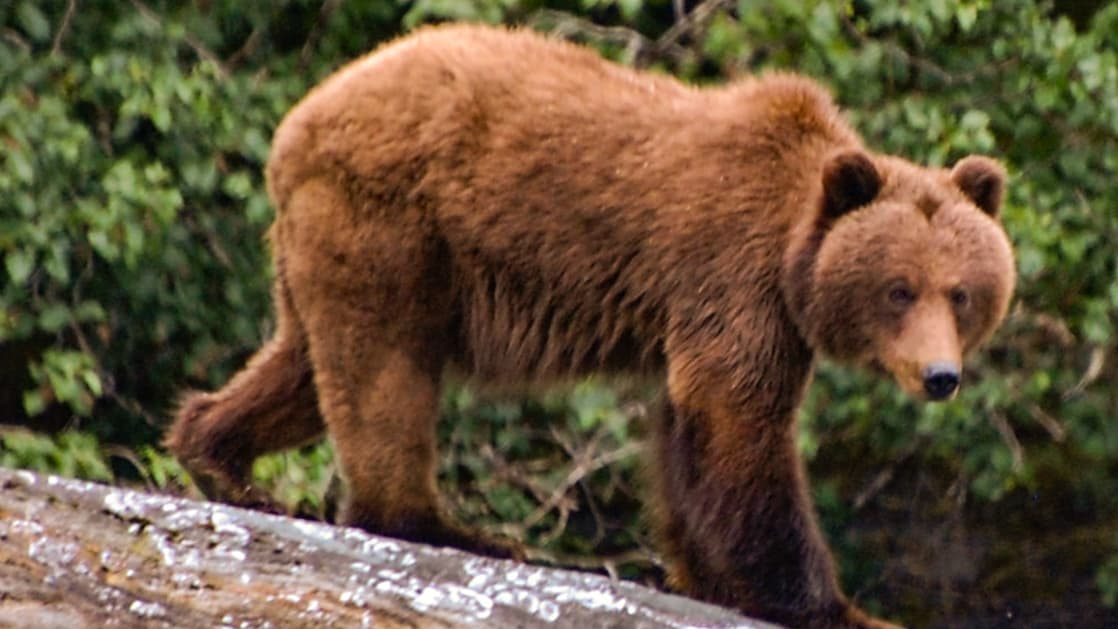 Brown bear walking over rock in Alaska with verdant green forest behind.