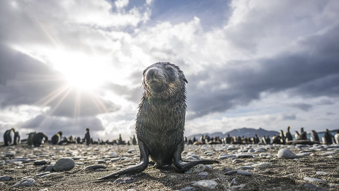 Fur seal with Antarctica travelers in the background on a cloudy day with sun peeking through, in Antarctica.