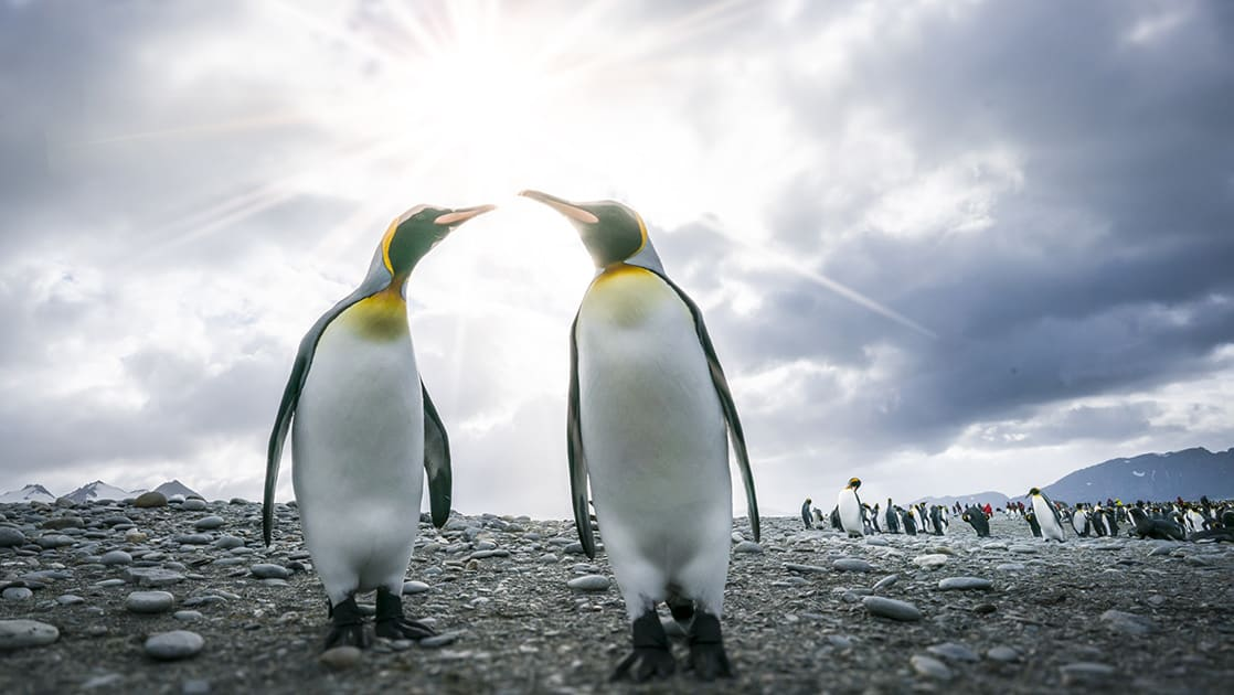 Two king penguins on a rocky shoreline with more penguins in the distance, in Antarctica.