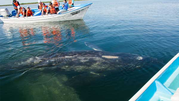 A gray whale swims just at the waters surface between two skiffs in Baja
