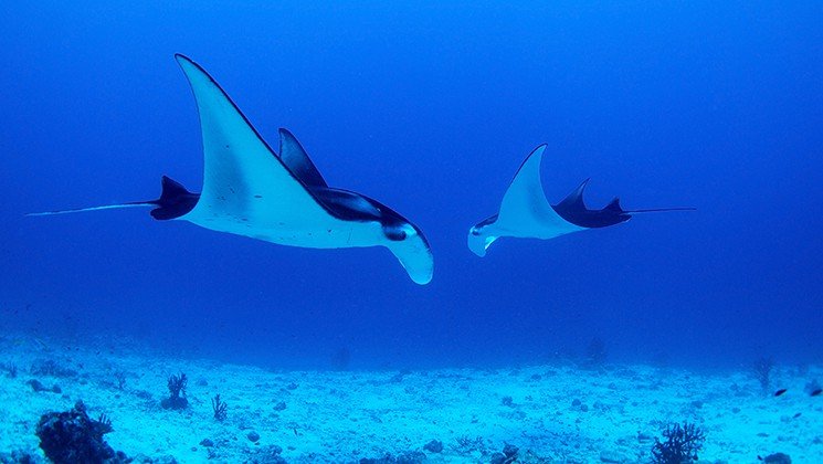 Two manta rays gliding along near the ocean floor in the dark and light-blue waters of Indonesia.