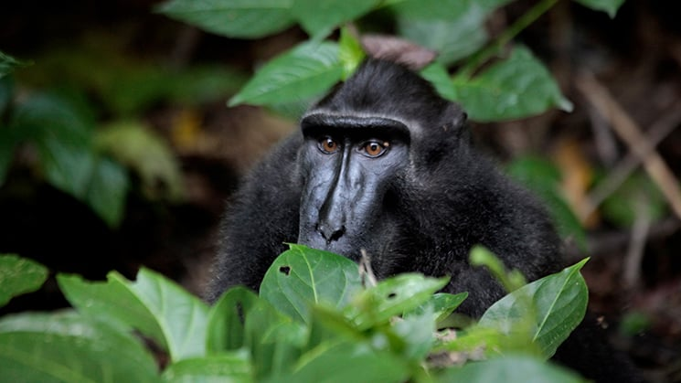 Celebes crested macaque black monkey hiding between large green leaves in the Tangkoko Nature Reserve, Indonesia.