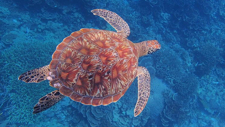 Red and orange-colored shell sea turtle swimming in cool blue waters in Sulawesi, Indonesia.