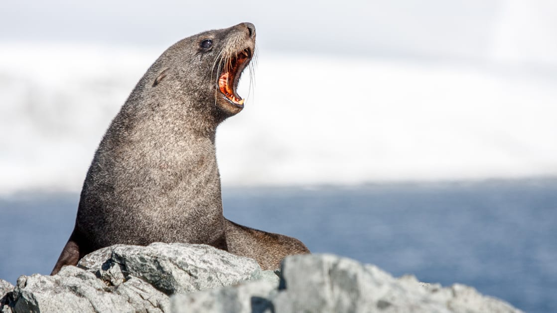 Seal barking atop a rock with a snowy hillside in the background on a clear day in Antarctica.