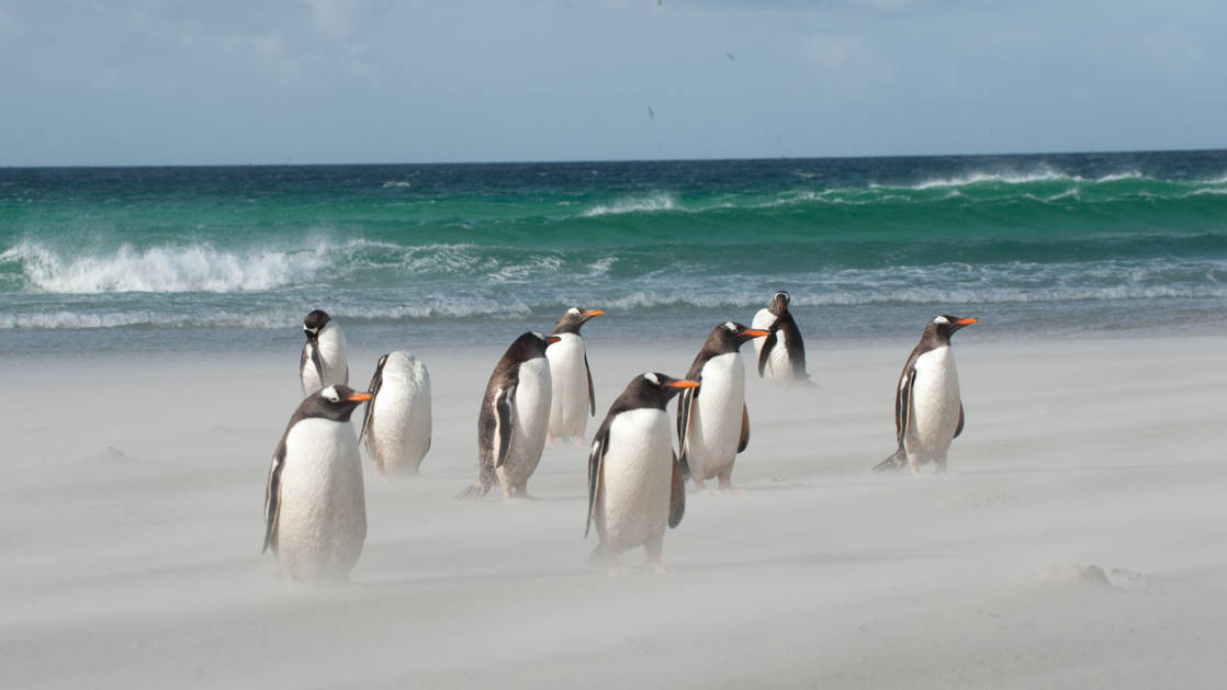 A flock of gentoo penguins stand on a sandy beach with turquoise waves rolling in behind them on the South Georgia & Polar Circle Cruise.