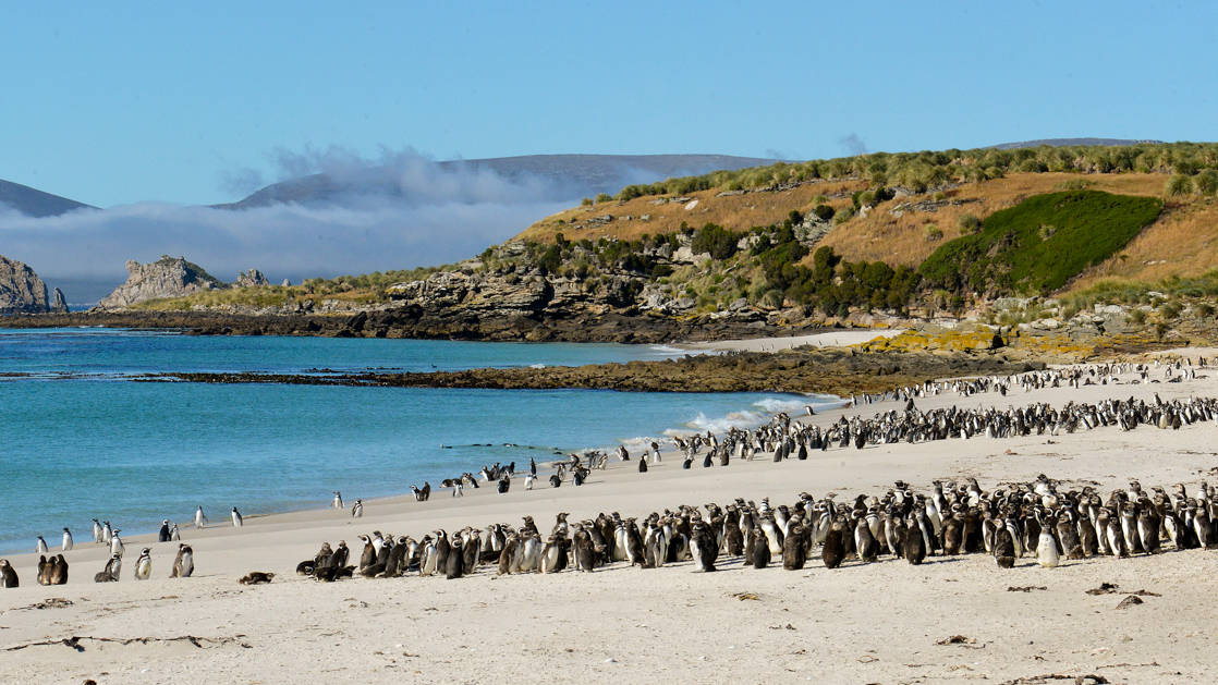 Hundreds of Magellanic penguins on the beach with blue water and green hillsides in the background on a sunny day on the South Georgia & Polar Circle Cruise.