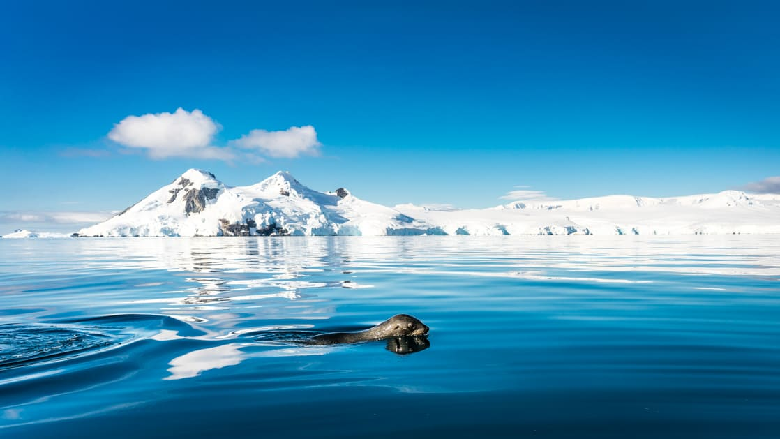 A seal pokes its head above calm blue waters with snowcapped peaks in the distance on a sunny day in Antarctica on the South Georgia & Polar Circle Cruise.