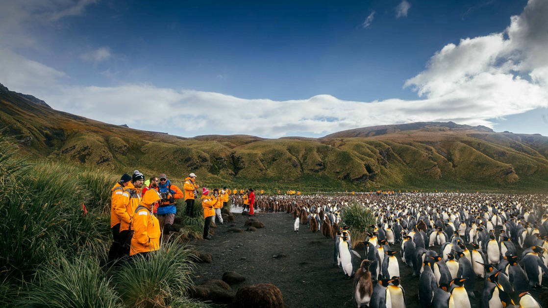 Antarctica travelers stand on edge of black-sand beach, amidst grassy tussocks, photographing king penguins on a sunny day.