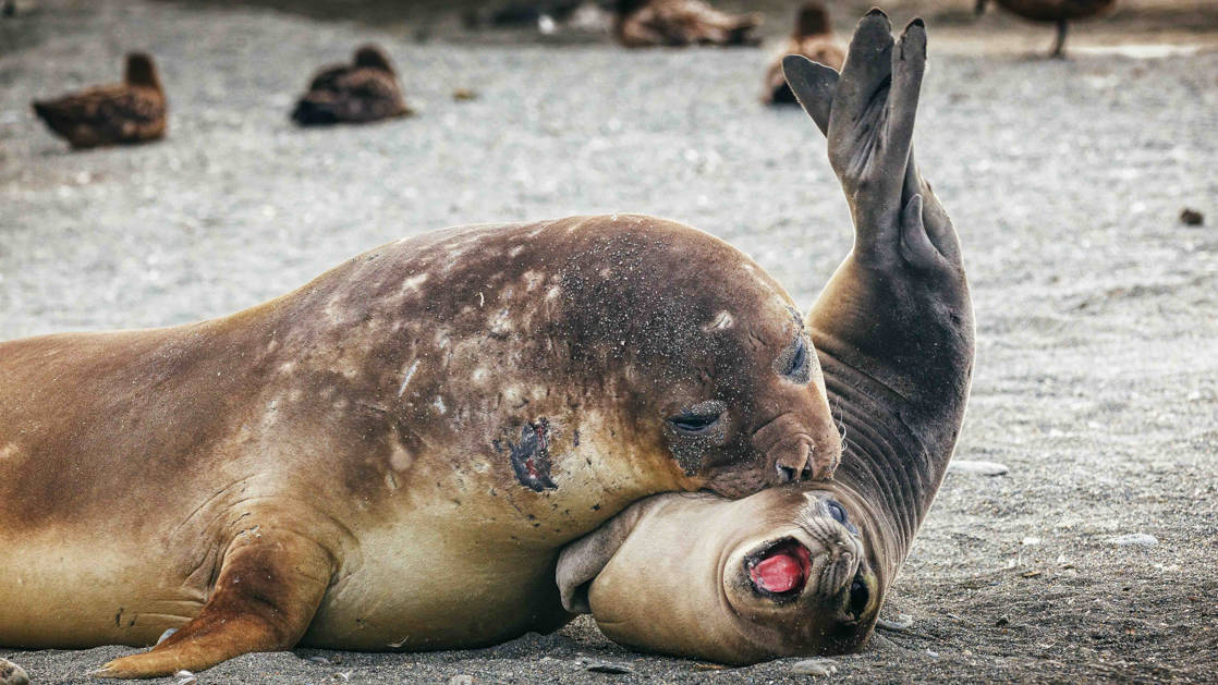 Mother seal puts mouth on pup, who has rear of body raised into the air & mouth wide open, on a