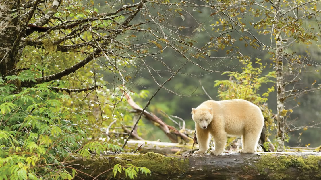 Albino Spirit Bear on a downed log in green forest.
