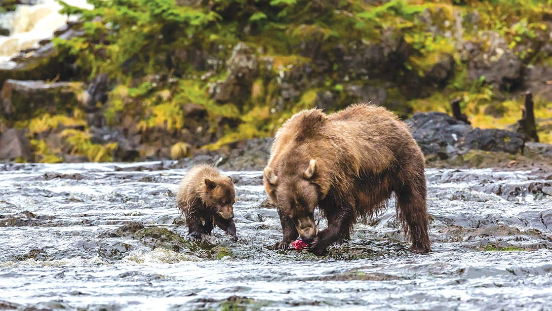 Mother brown bear feeding on pink salmon at low tide with her cub in Pavlof Harbor, Chichagof Island, Southeast Alaska.