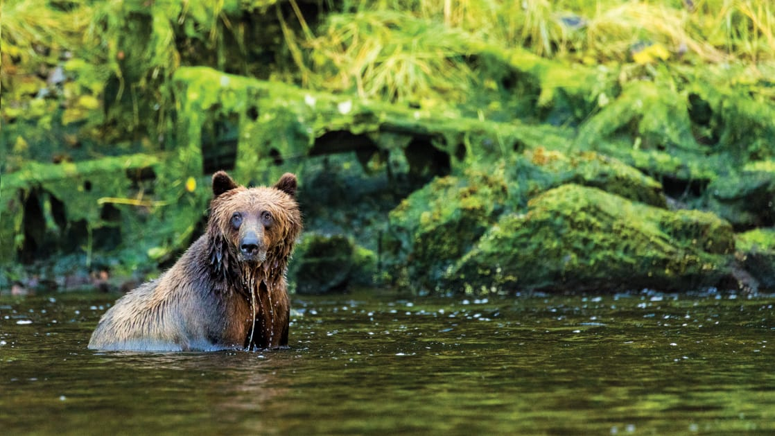 Brown bear sitting in water looking for fish, with verdant green rainforest behind.