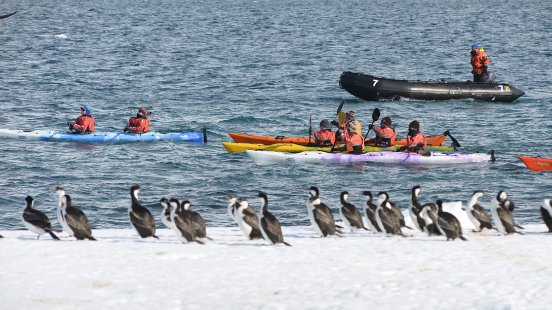 A group of tandem kayakers is followed by a Zodiac as they paddle polar waters and look at a flock of imperial cormorants on shore during the Antarctic Southern Latitudes expedition.