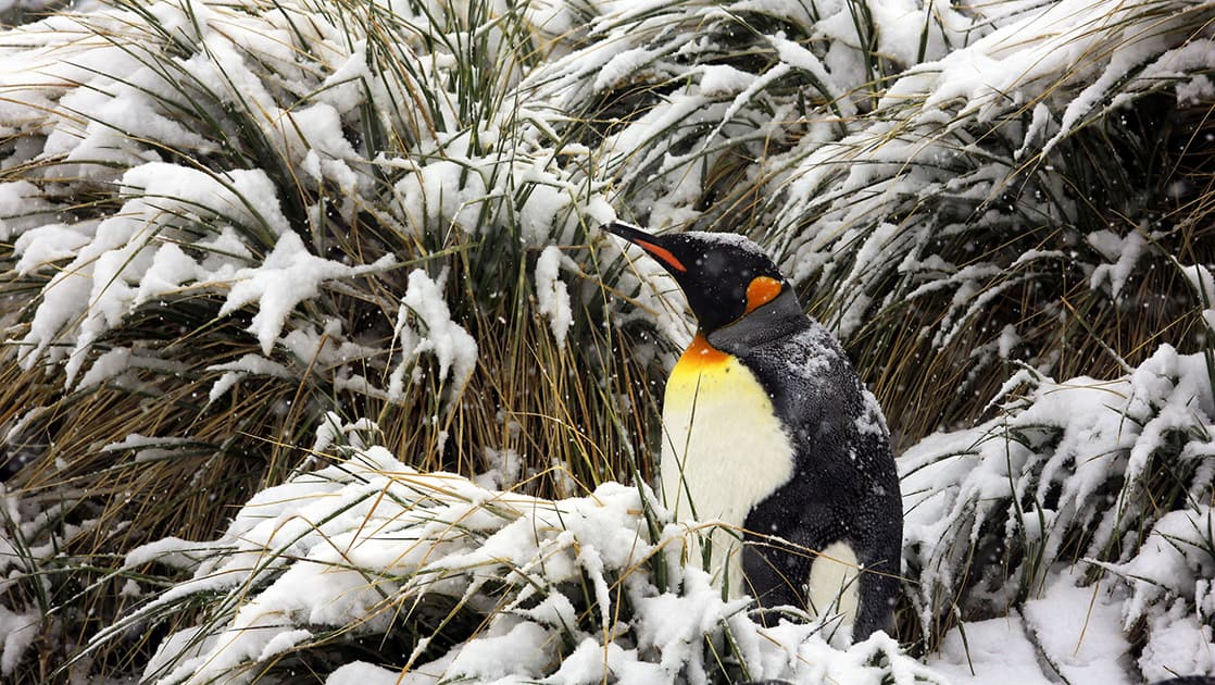 King penguin craning its neck with snow-covered tussock grass in the background.