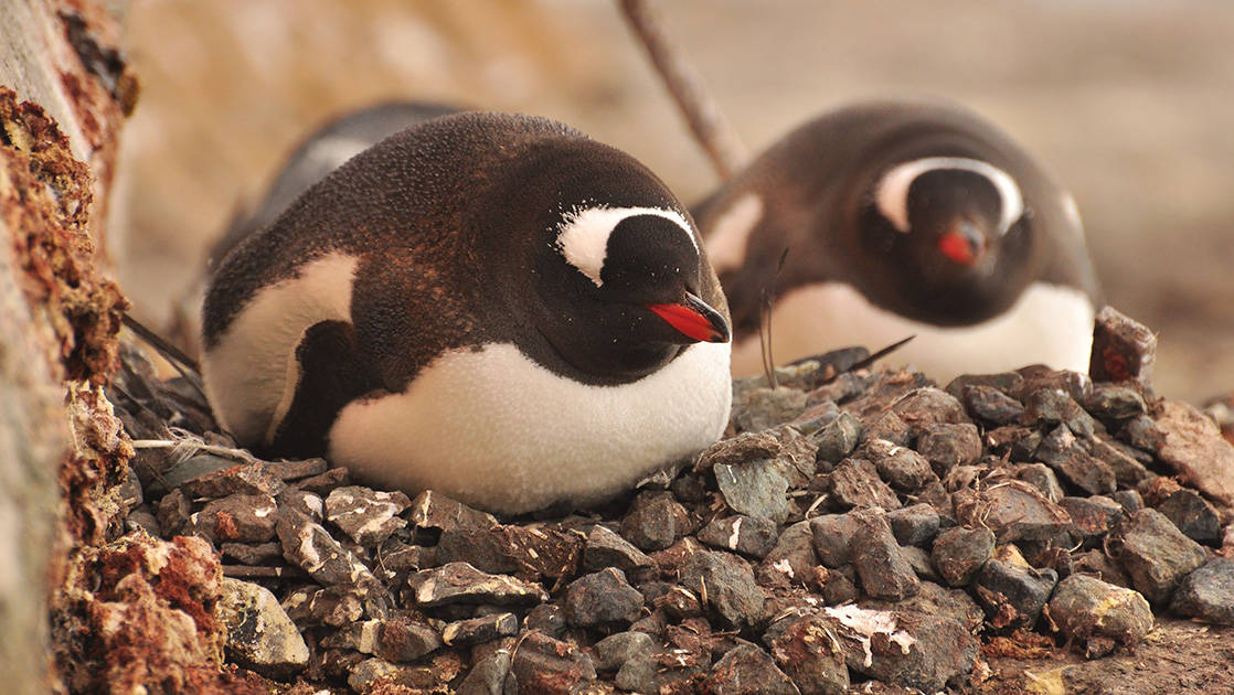 Two gentoo penguins sit on top of their rocky nests in Antarctica.