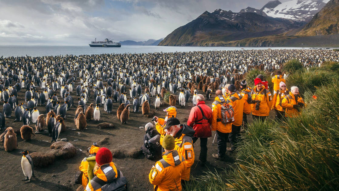 Polar travelers in bright yellow jackets stand beside green grasses and photograph hundreds of king penguins on the beach of South Georgia Island on an Antarctica small ship cruise.