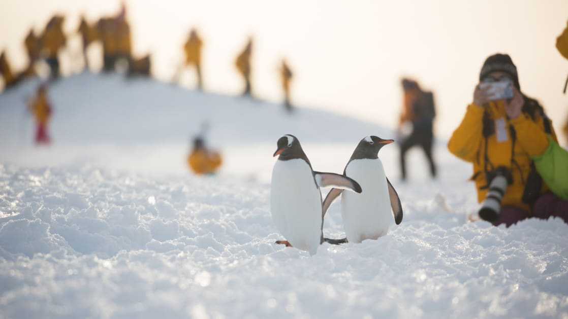 A pair of gentoo penguins are photographed by a polar traveler in a yellow jacket at dusk on the South Georgia & Antarctic Peninsula: Penguin Safari small ship expedition.