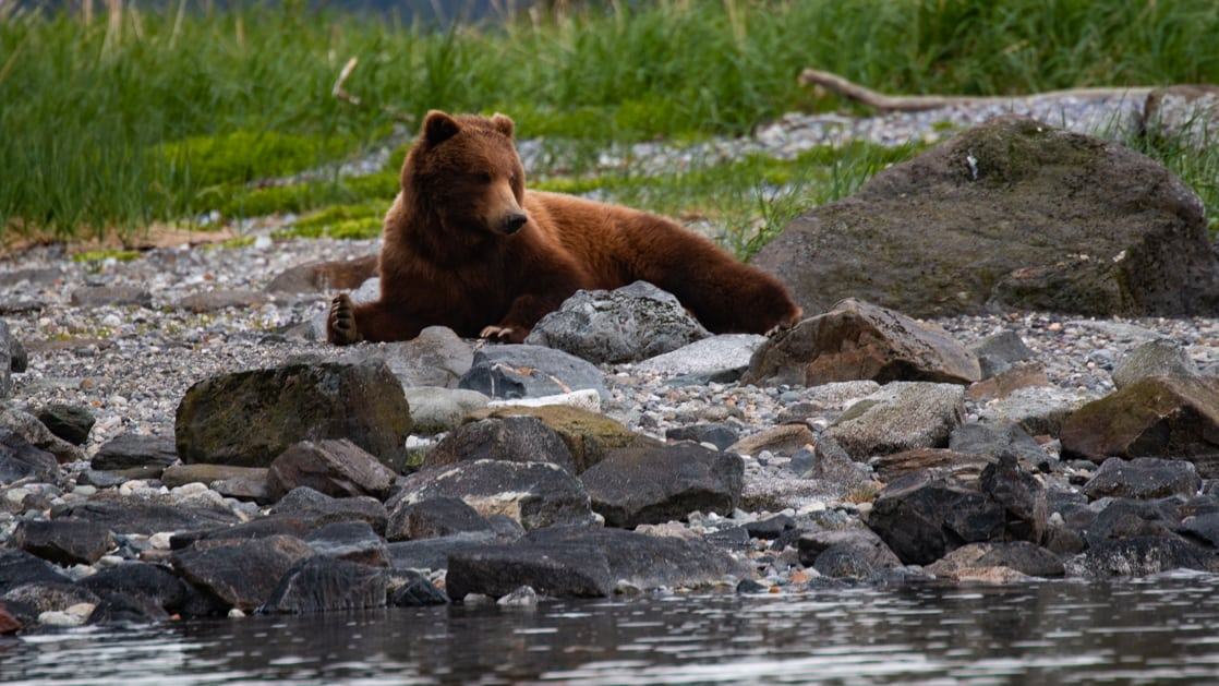 Brown bear laying along a rocky shoreline in the Inside Passage on an Alaska small ship cruise.