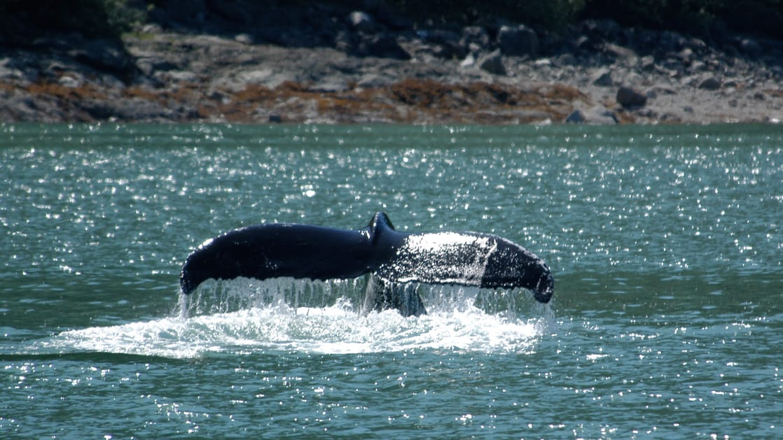 Whale fluke in silty blue water viewed from the deck of the Sea Wolf Alaska small ship.