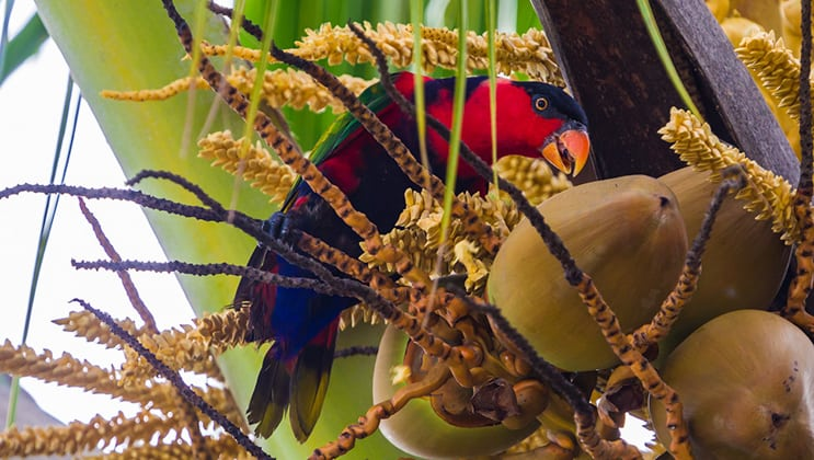 A black-capped lory bird resembling a red-and-purple parrot feeds on coconuts as seen on the Aqua Blu Raja Ampat Cruise in Indonesia.