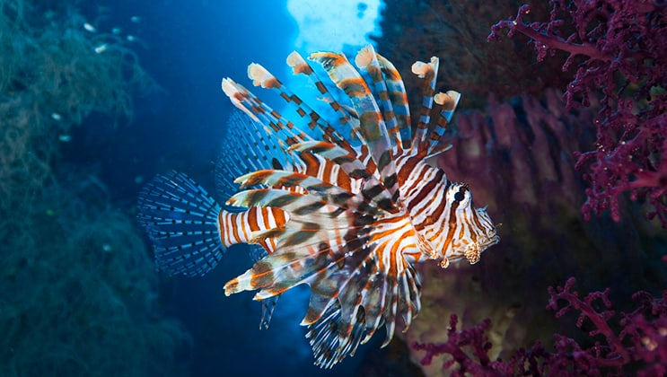 Red-and-white-striped lionfish underwater as seen on the Aqua Blu Raja Ampat Cruise in Indonesia.