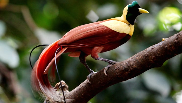 Red, gold and dark green bird of paradise stands on a tree branch as seen on the Aqua Blu Raja Ampat Indonesia birding cruise.
