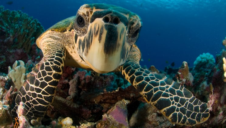 Close-up hawksbill sea turtle underwater by colorful coral as seen while snorkeling or diving on the Aqua Blu Raja Ampat small ship expedition.