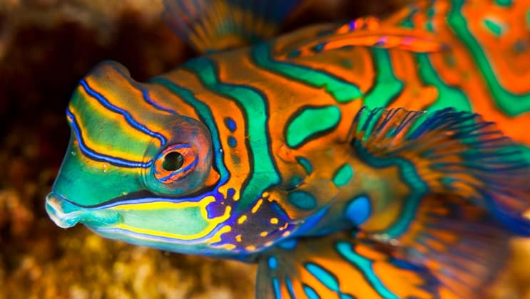 Brightly colored green, orange and yellow mandarin fish seen while snorkeling or diving during the Aqua Blu Ambon & Spice Islands Cruise in Indonesia.