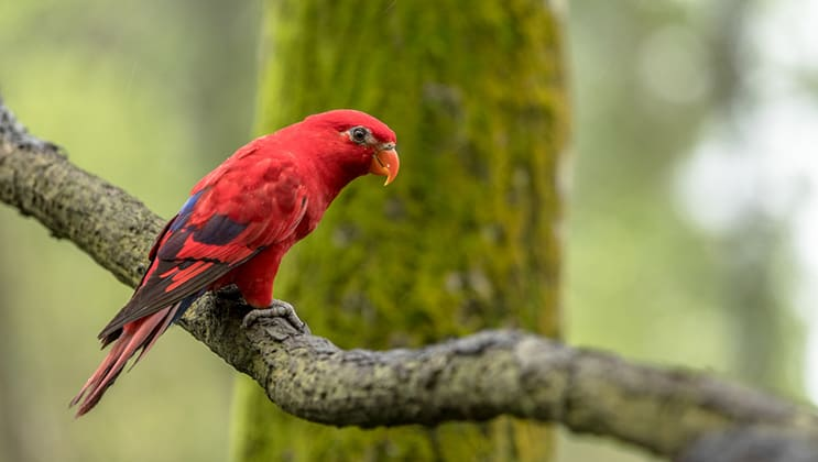 Bright red lory bird sitting on a mossy branch in the rainforest, seen during the Aqua Blu Ambon & Spice Islands Cruise in Indonesia.