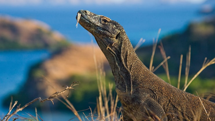 Komodo dragon sitting on the ground against the backdrop of stunning scenery on the Aqua Blu Komodo National Park Cruise.