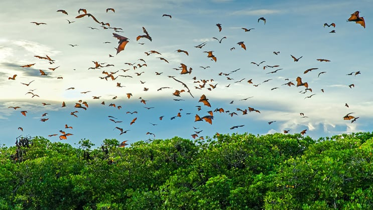 Flying foxes above mangrove trees seen on the Aqua Blu Komodo National Park cruise in Indonesia.