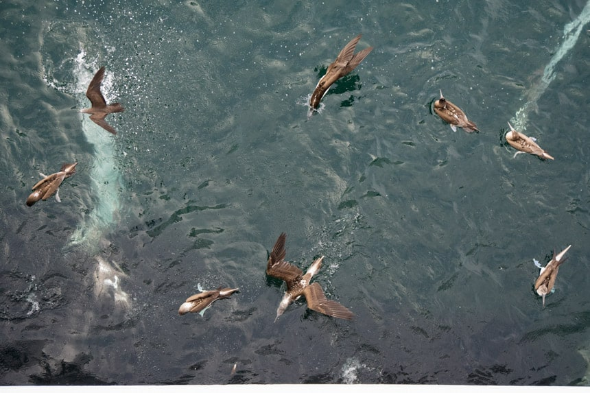 An aerial photo of 8 or more Galapagos blue footed boobies diving into the teal ocean water