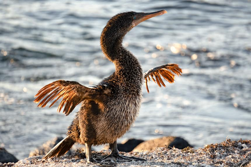 A glowing galapagos flightless cormorant stretches its small wings standing ontop of a rock in front of the ocean.