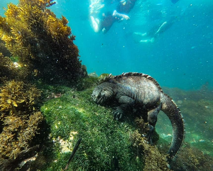 Underwater photo of Galapagos marine iguana eating green algae growing along the rocks while snorkeling on a Galapagos small ship cruise